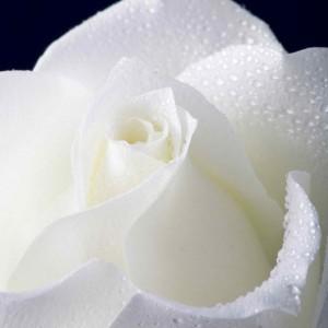 White_rose_